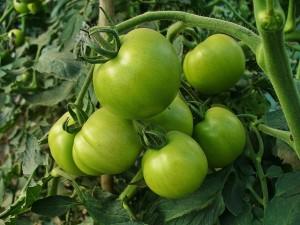tomates sanos